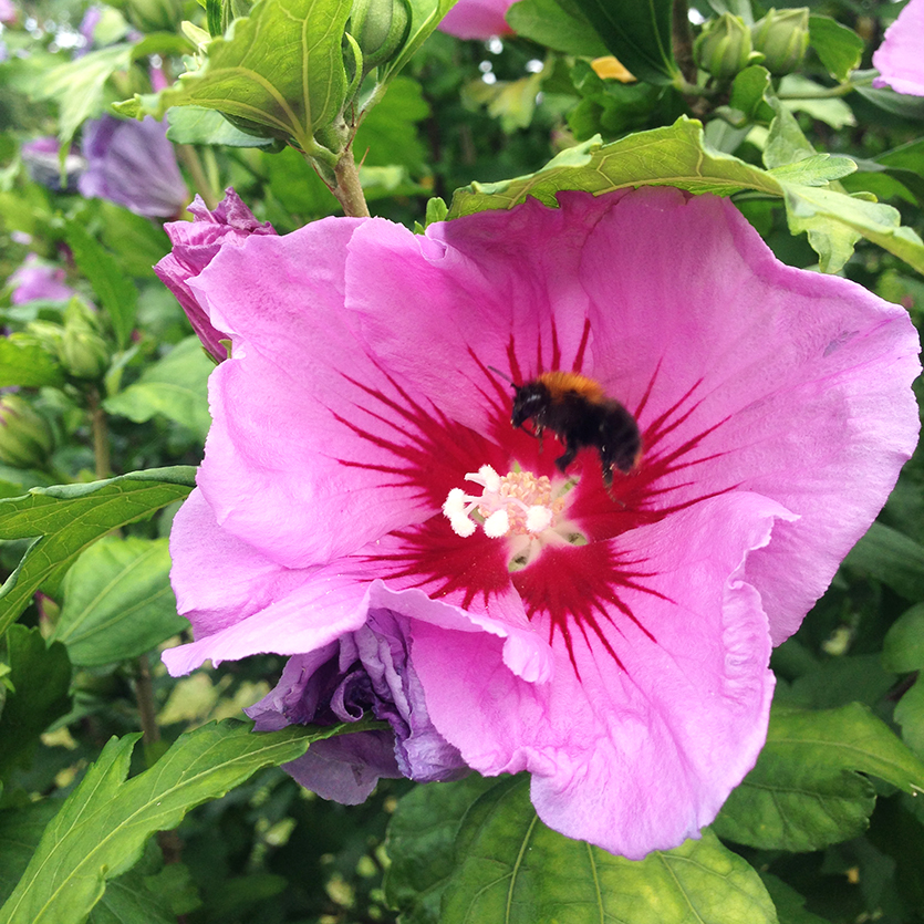 Hibiscus in bloei